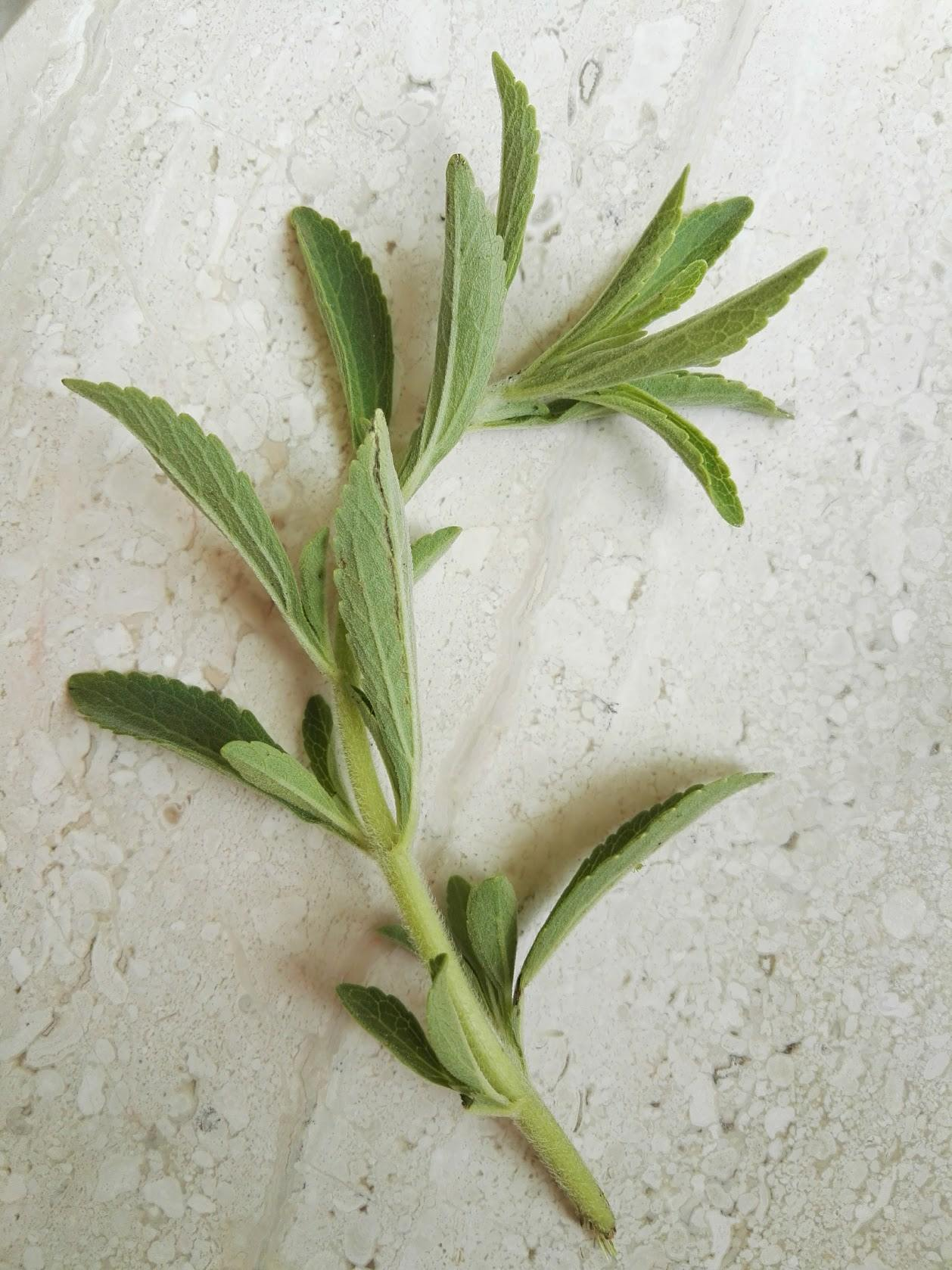 Studie belegt: Stevia kann bei Borreliose helfen