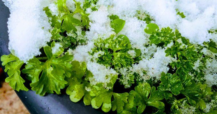 Petersilie wächst sogar im Winter!