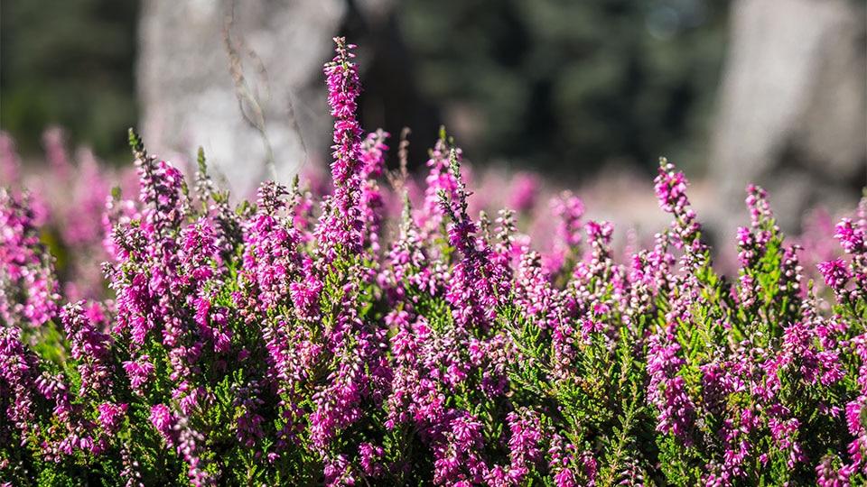 Heideblütentee oder Erikatee – der Alleskönner unter den Tees