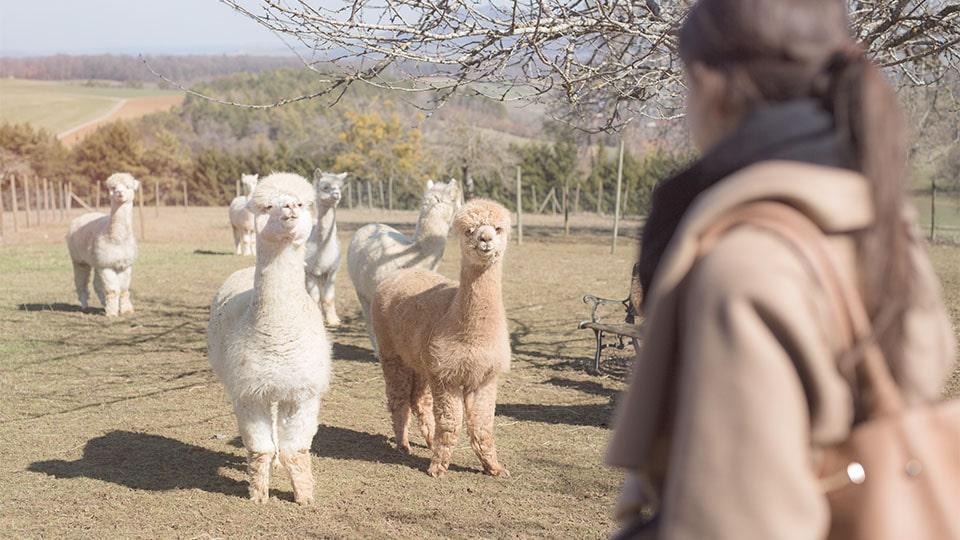 Alpakawolle – dank ihrer speziellen Faserstruktur mehr als nur wärmend