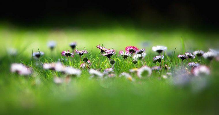 Gänseblümchen zum Entschlacken, als Kapernersatz oder bei Husten