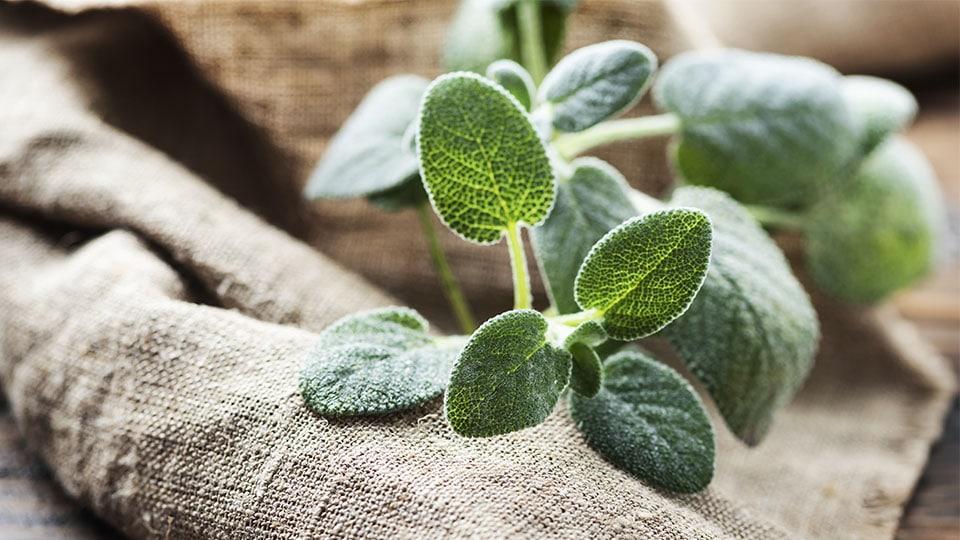 salbei jungpflanze