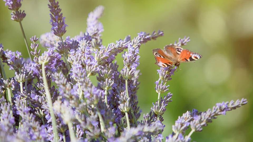 Lavendel hilft bei Schlafproblemen und Stress
