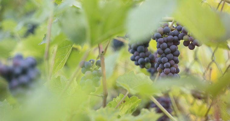 Kernlose Trauben – warum man sie nicht kaufen sollte