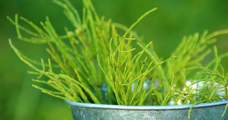 Ackerschachtelhalm erkennen – Verwechslungsgefahr mit Giftpflanze