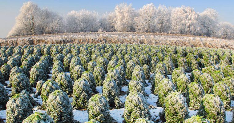 Grünkohl – die Vitaminbombe unter den Wintergemüsen