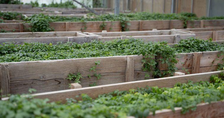 Kraut der Unsterblichkeit – Jiaogulan selber anpflanzen