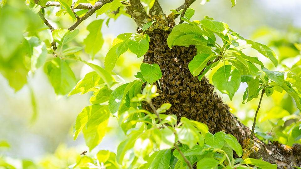 Bienenschwarm im Garten – Was kann man tun?