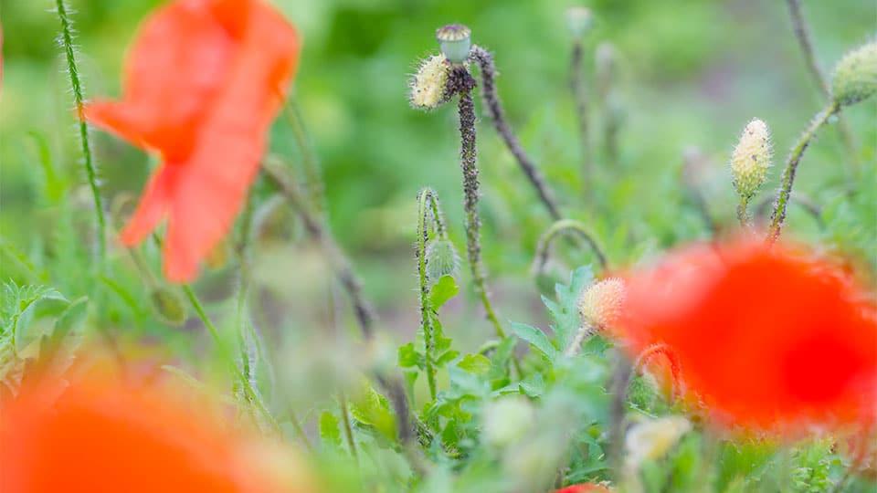 Blattläuse bekämpfen mit natürlichen Hausmitteln