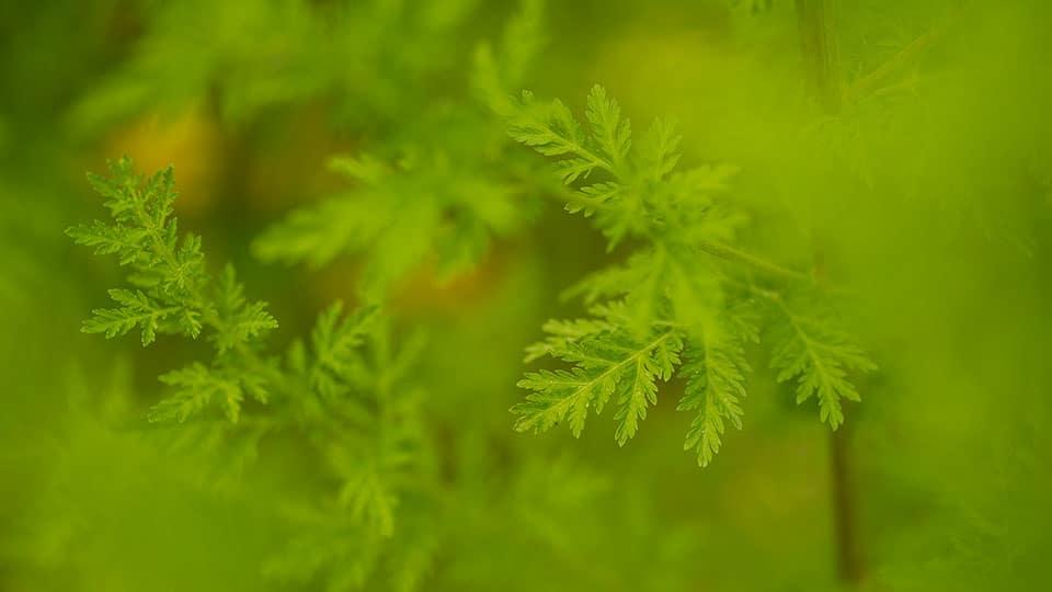 Die Blätter des einjährigen Beifuß ( Artemisia annua )