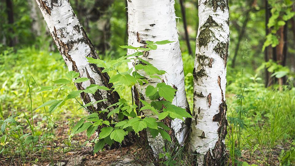 Birke im Wald
