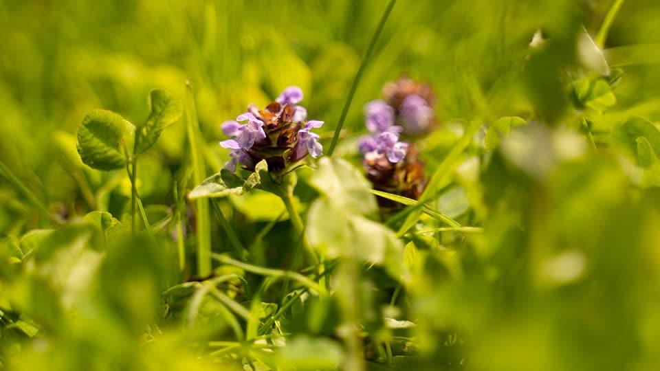 Braunelle - eine eher unscheinbare Pflanze