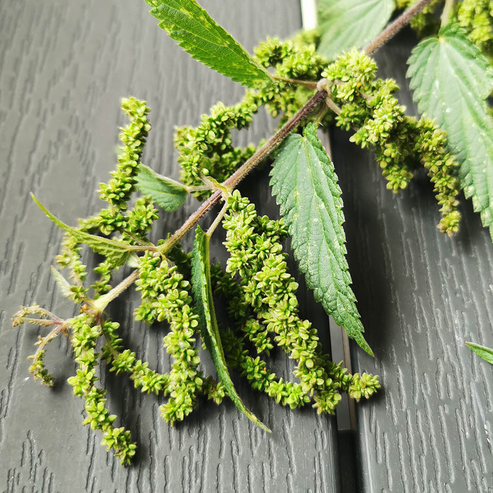 Grüne Samen der Brennnessel
