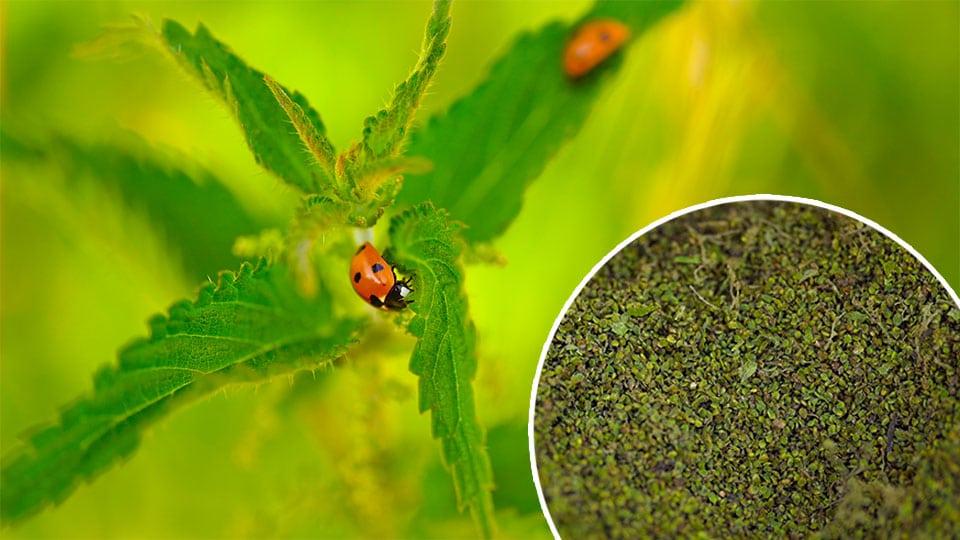 Brennnessel Samen sammeln und verwenden