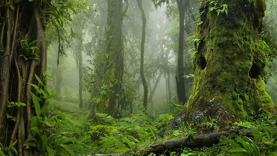 Chanca Piedra Tee – die unbekannte Heilpflanze aus dem Regenwald
