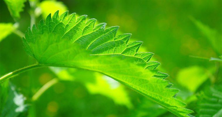 Chlorophyll in Wildkräutern – was steckt dahinter?