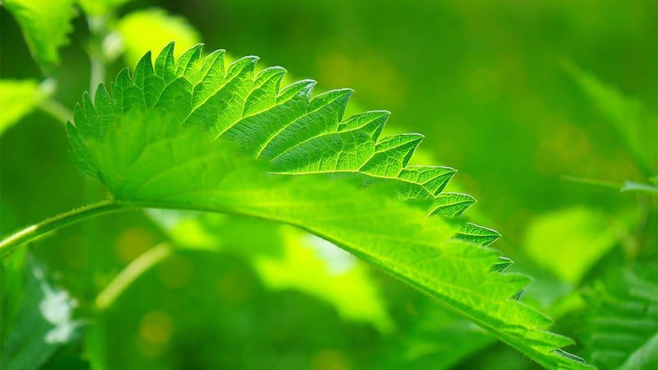 Chlorophyll in Wildkräutern