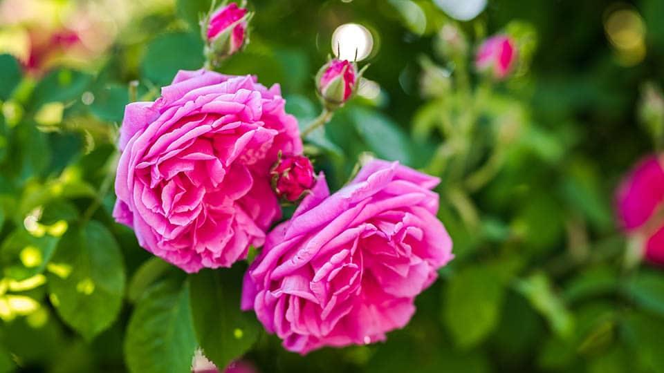 Damaszener - Rose