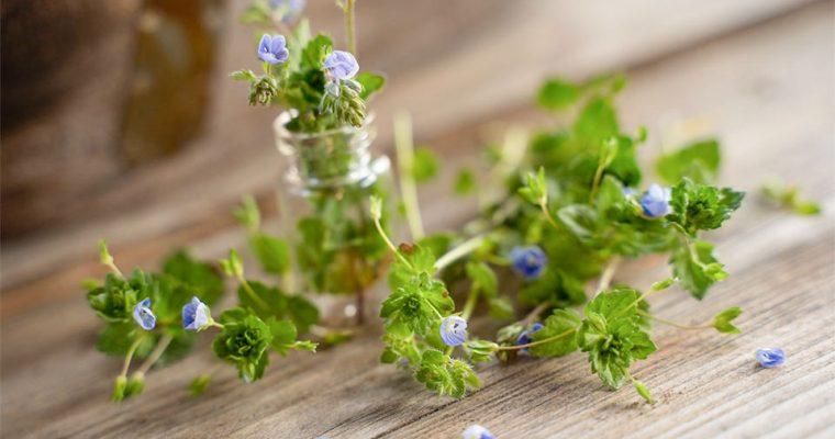 Ehrenpreis – essbare und wertvolle Heilpflanze