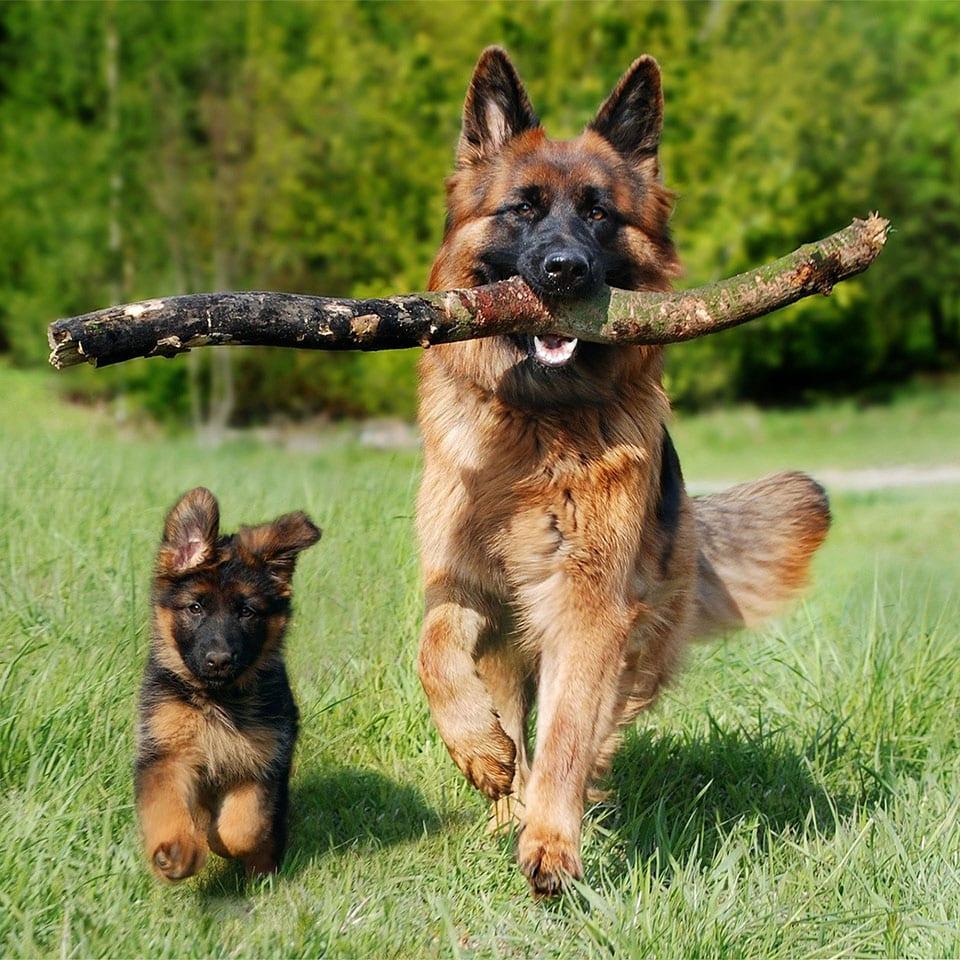 Wie gefährlich ist der Fuchsbandwurm für Hunde?