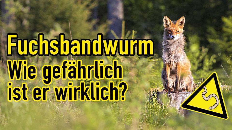 Fuchsbandwurm - wie gefährlich ist er wirklich?