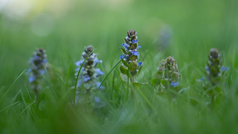 Günsel – essbare Heilpflanze, die vielerorts im Rasen wächst