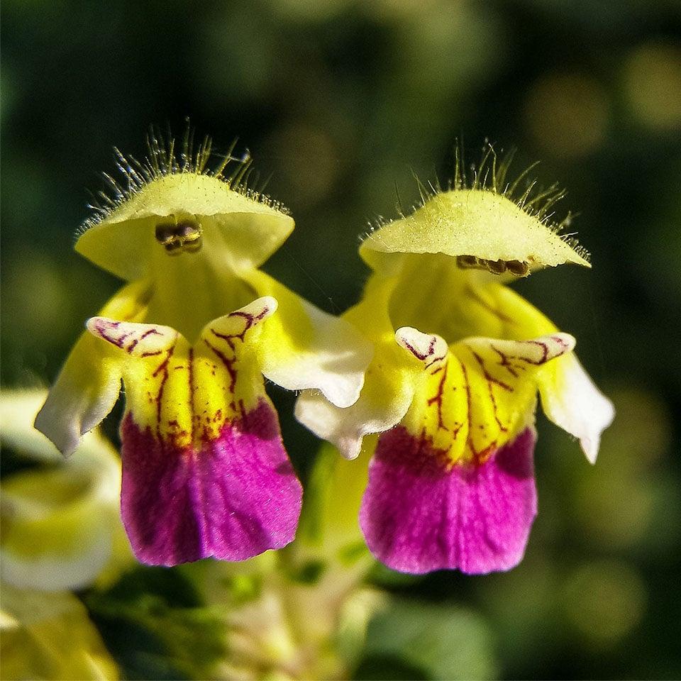 Blüte des Hohlzahns