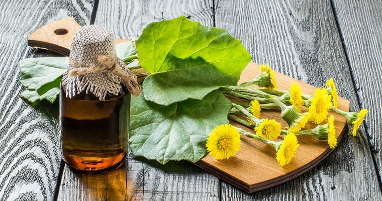Huflattich – Wildpflanzen im Vorfrühling