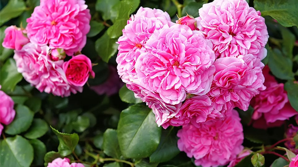 Hundertblättrige Rose