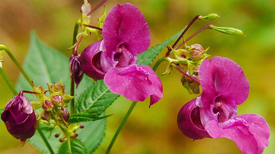 Springkraut – Geheimtipp bei Insektenstichen