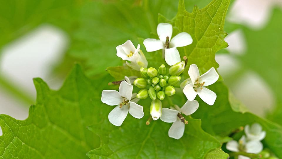 Knoblauchsrauke mit Blüte