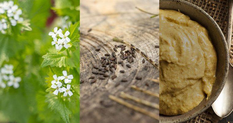 Warum du die Samen der Knoblauchsrauke jetzt sammeln solltest – mit Rezept für Senf