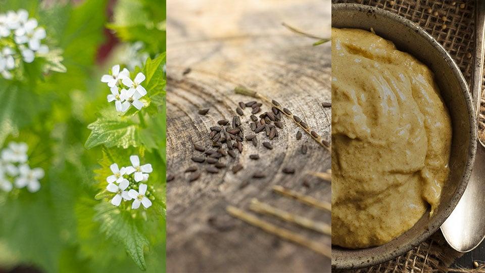 Senf mit den Samen der Knoblauchsrauke herstellen