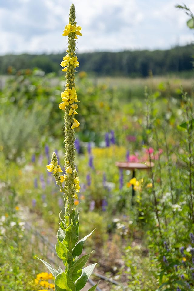 Blühende Königskerze im Garten