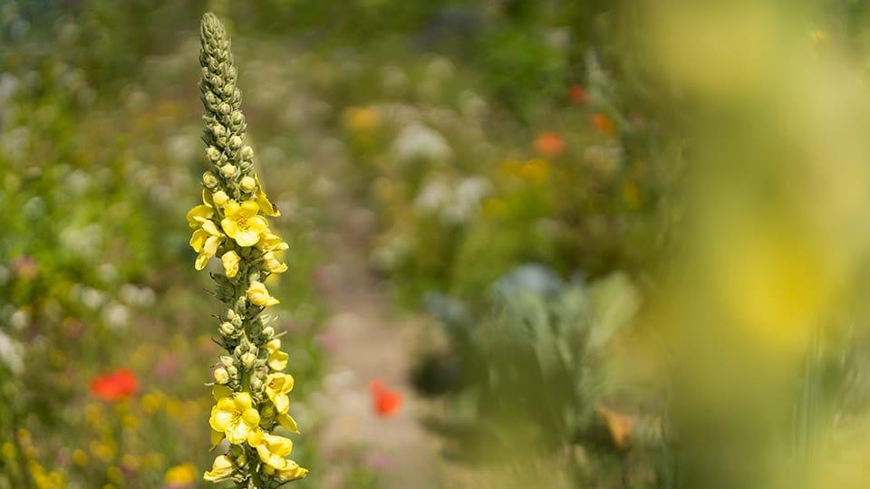 Warum die Blüten der Königskerze bei Atemwegserkrankungen helfen können