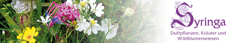 Syringa Duftpflanzen