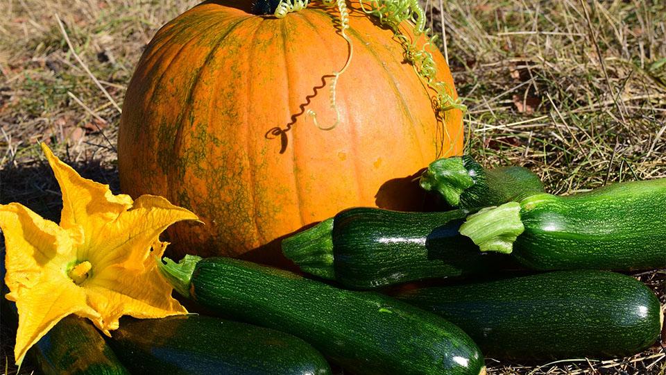 Zucchini und Kürbis gemeinsam anbauen