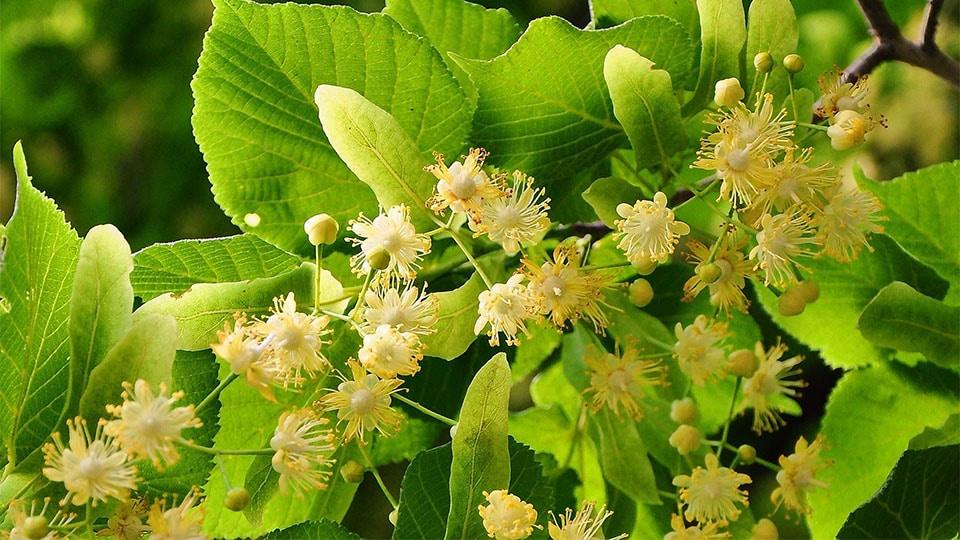 Lindenblüten der Linde