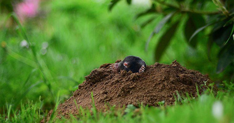 Maulwurfshügel – Kostenlose Erde für Balkonpflanzen oder als Anzuchterde
