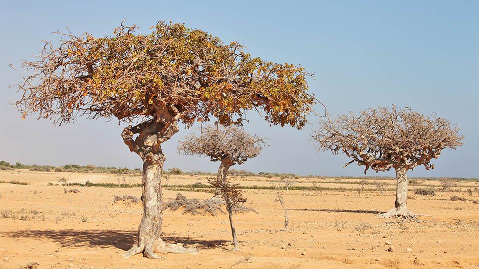 Myrrhe Baum