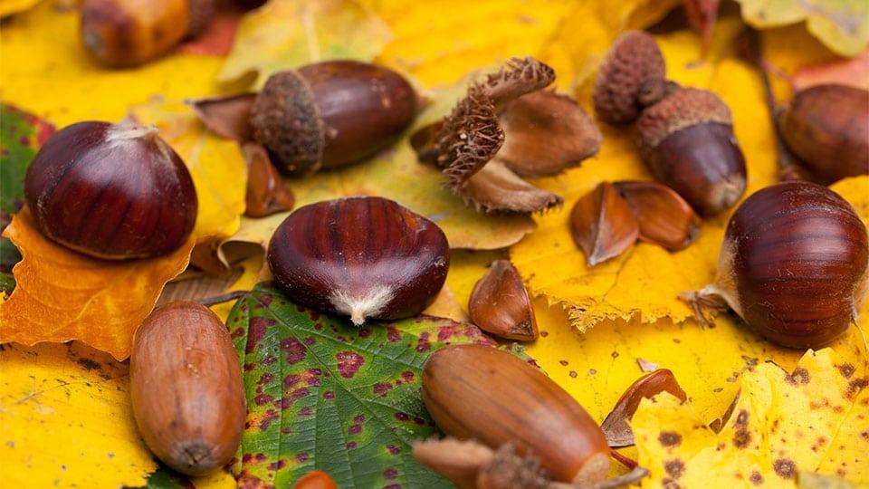 Heimische Nüsse im Wald sammeln – Nährstoffe und Tipps