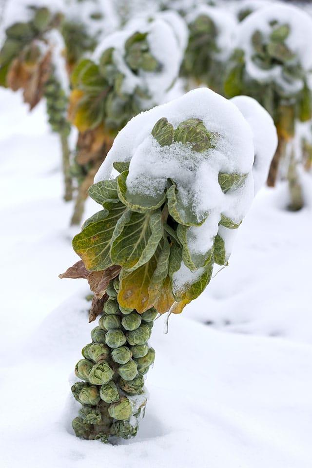 Rosenkohl im Winter