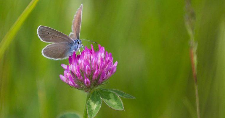 Rotklee – vielfältige Heilpflanze, essbare Wildpflanze und Futterpflanze für Tiere
