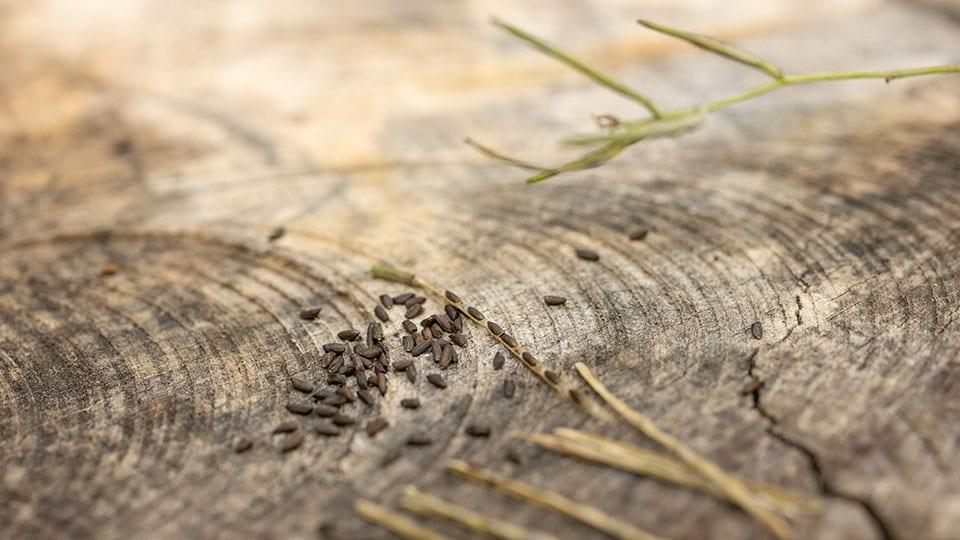 Die Samen der Knoblauchsrauke