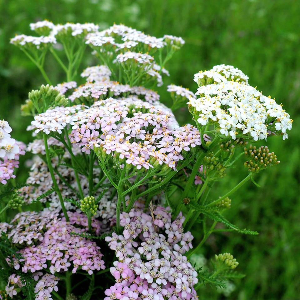 Die Blüte der Schafgarbe