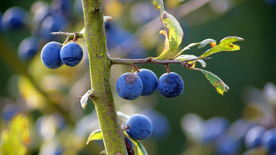 Wildes Obst im Herbst – Was kann man ernten?