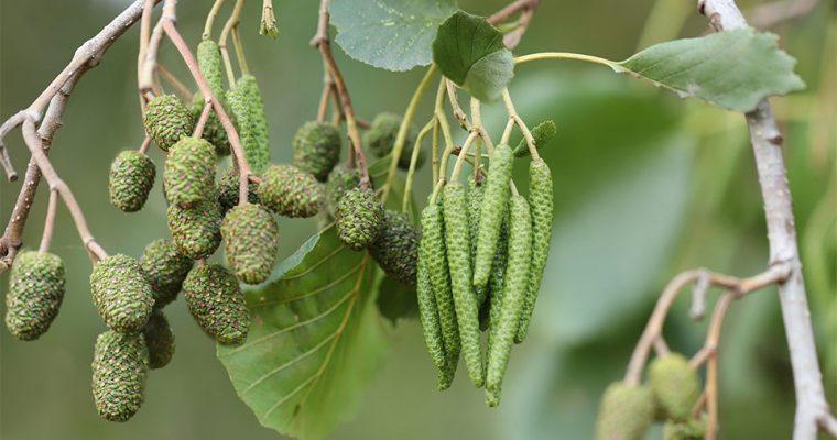 Die Schwarzerle: Wie man junge Blätter und Rinde verwenden kann