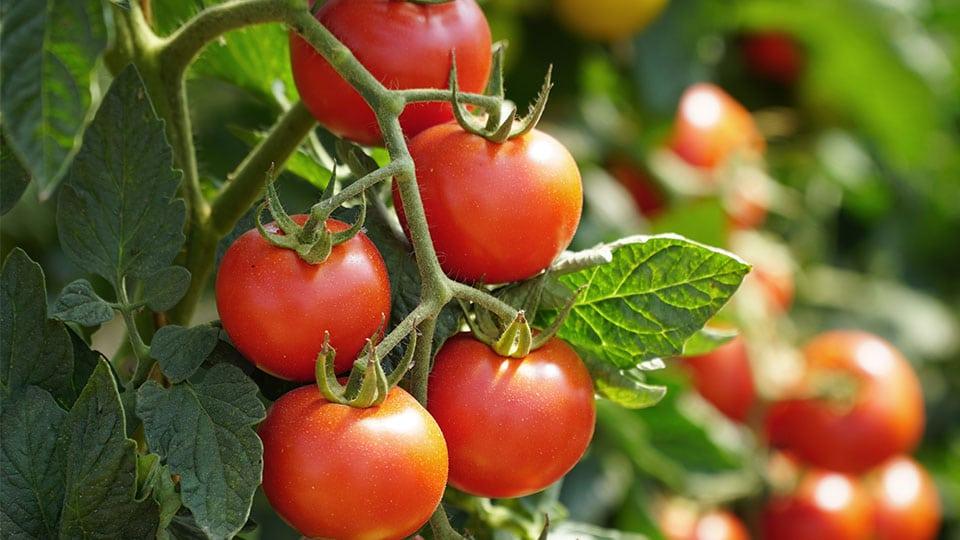 Tomatenblätter gegen Mücken? So funktioniert das Hausmittel