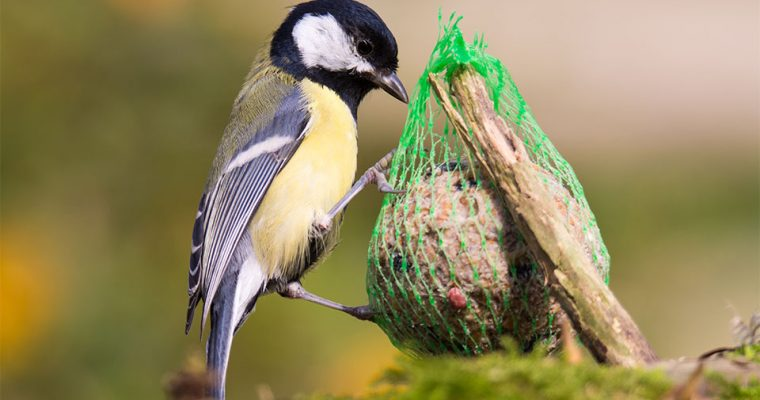 Sind die Netze der Meisenknödel gefährlich? Vogelfutter selber machen