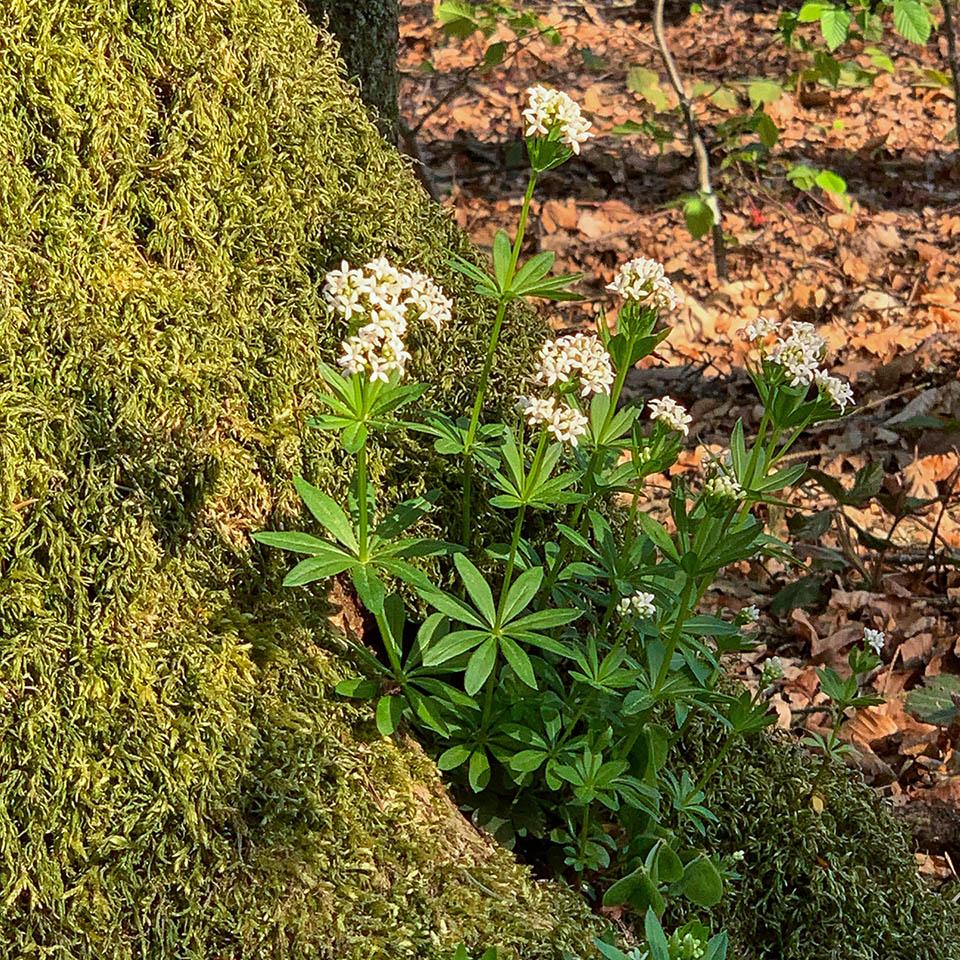 Waldmeister wächst an schattigen Plätzen
